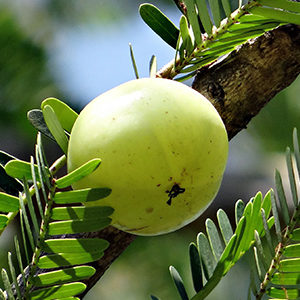 Emblica Officinale Amla
