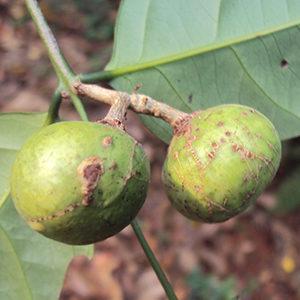 Salacia Oblonga Extract Saptrangi, Koranti