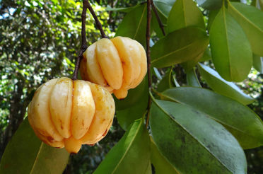 Insights on Benefits of GARCINIA CAMBOGIA