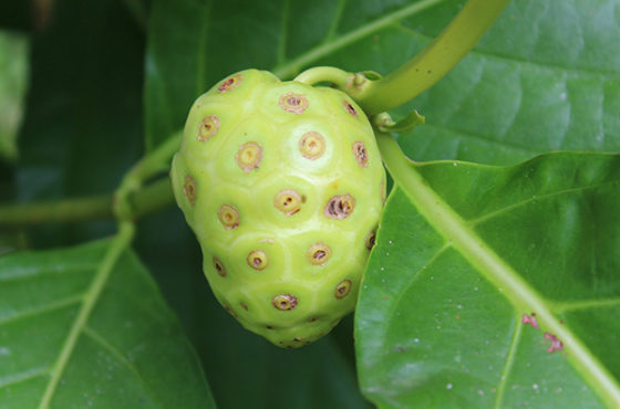 Morinda Citrifolia or Noni has more uses than it has names!